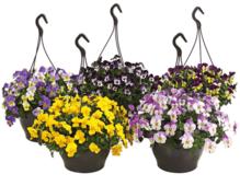 2 Hornveilchen-Blumenampeln XXL in schwarzem Kunststoffgefäß