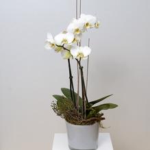 Orchidee im Übertopf
