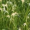 Sternentänzergras, Edelweißgras - Rhynchospora variagata, Topf 12 cm in Gärtnerqualität von Blumen Eber