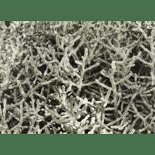 Texasgras - Calocephalus brownii - Stacheldraht im  Topf - Variante: 11cm