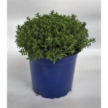 Strauchveronika - Hebe Green Globe - Variante: 11 cm