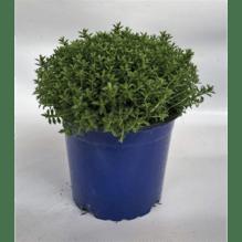 Strauchveronika - Hebe Green Globe -alt- - Variante: 11cm