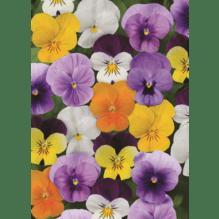 Viola cornuta, kleinblütiges Hornveilchen - 12er Mix