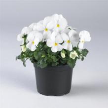 Viola cornuta, kleinblütiges Hornveilchen - weiß - Variante: 12 x 9 cm