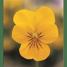 Viola cornuta, kleinblütiges Hornveilchen - gelb - Variante: VIOCORGEL12er