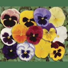 Viola wittrockiana, großblumiges Stiefmütterchen - 12er Mix