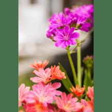 Lewisia cotyledon – Porzellanrösschen – Bitterwurz, lila