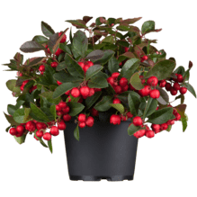 Gaultheria procumbens - Scheinbeere 'Winter Pearls'