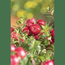 Pernettya mucronata - Torfmyrte, rot