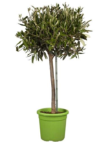 Mediterraner Olivenbaum