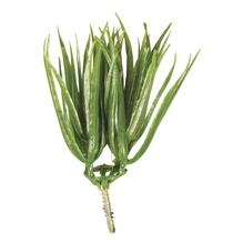 Vanilla Gras zum Stecken, 7cm, SB-Btl 6Stück