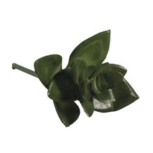 Mini-Sukkulente Haworthia, 5x3,5cm