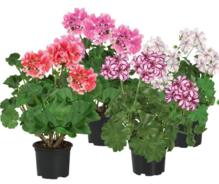 Geranien stehend verschiedene Farben (nur in der Gärtnerei in Titz-Höllen erhältlich)