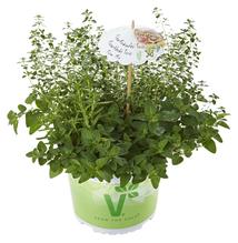 Kräuter-Trio 'Pizza Mix', Rosmarin, Thymus, Origanum - Pflanze Topf 12 cm; Gärtnerqualität aus Birkenried