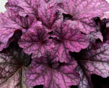 Heuchera - Purpurglöckchen 'Berry Smoothie' - in Gärtnerqualität von Blumen Eber
