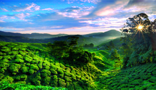 Teeplantage 1