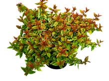 Abelia 'Kaleidoscope' - Tausendblütenstrauch im 12 cm Topf