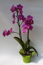 Phalaenopsis / Orchidee zwei Rispen