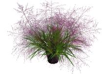 Liebesgras - Eragrostis spectabilis, Topf 13 cm