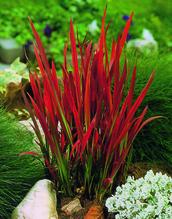 Japanisches Blutgras - Imperata Red Baron, Topf 12 cm