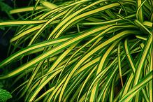 Carex Evergold - gelbgrüne Garten-Segge im Topf 11cm