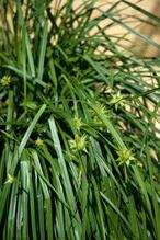 Carex grayi Morgenstern - Morgenstern Segge, Neuheit imTopf 13 cm
