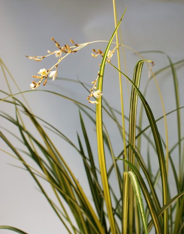 Anthericum Starlight® - Gras Starlight. Neuheit 2017 im Topf 13 cm