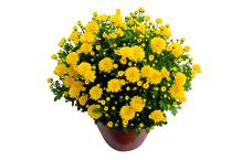 Chrysanthemenbusch, winterhart 40 - 50 cm Durchmesser, Topf 19 cm