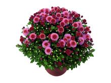 Chrysanthemenbusch XL, winterhart 50 - 60 cm Durchmesser, Topf 23 cm