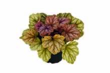 Heuchera - Purpurglöckchen 'Champagne' Neuheit 2017 - in Gärtnerqualität von Blumen Eber
