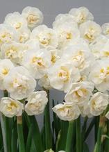 Edelnarzisse Bridal Crown die nach Vanillie duftende weiß gefüllte Schönheit, 3 Zwiebel im Topf 11 cm vorgetrieben, Premiumqualität aus Eigenprodkution