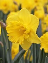 Edelnarzisse Gold Medal, original gold-gelbe Osterglocke großblumig, 3 große Zwiebel im Topf 13 cm vorgetrieben, Gärtnerqualität von Blumen Eber