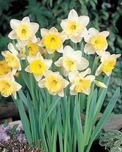 Edelnarzisse 'Ice Follies', weiße Osterglocke mit  gelber Trompete,  3 große Zwiebel im Topf 13 cm vorgetrieben, Gärtnerqualität von Blumen Eber